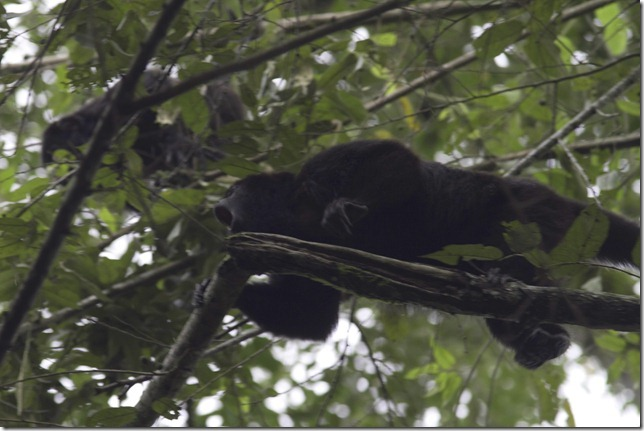 Howler Monkeys woke us up at 6 in the morning in Palenque